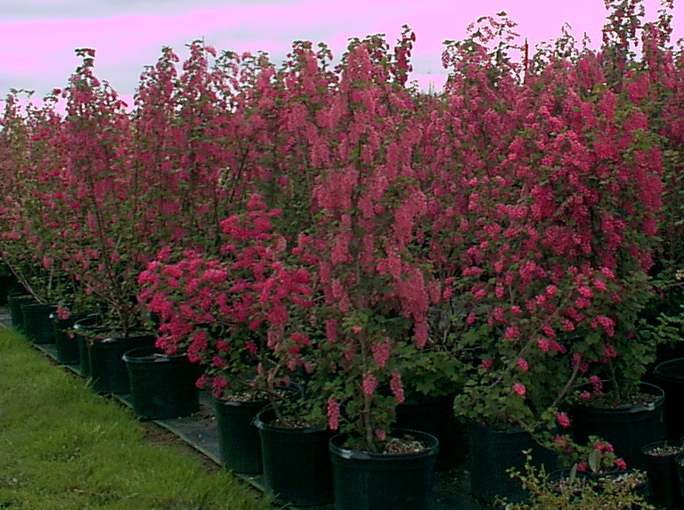 currant in containers