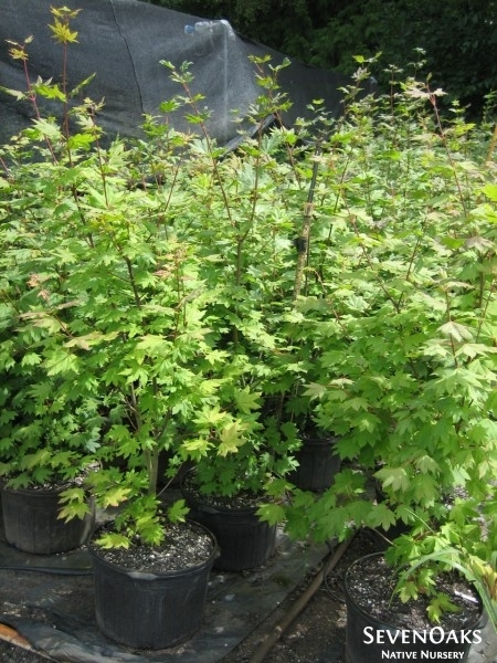vine maple in containers