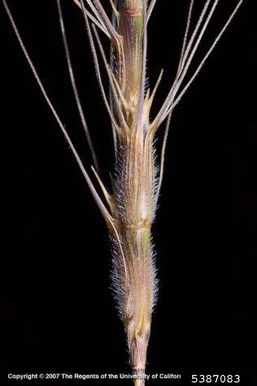 Barbed Goat Grass close up