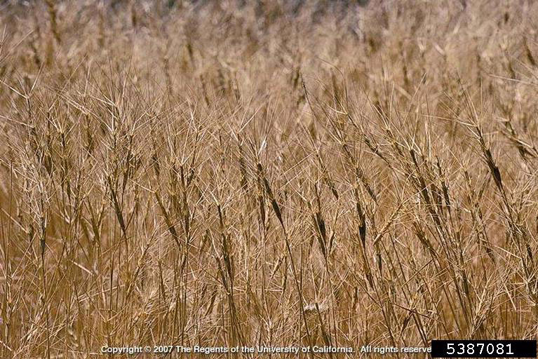 Barbed Goat Grass whole plant