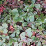 wood straberry ground cover