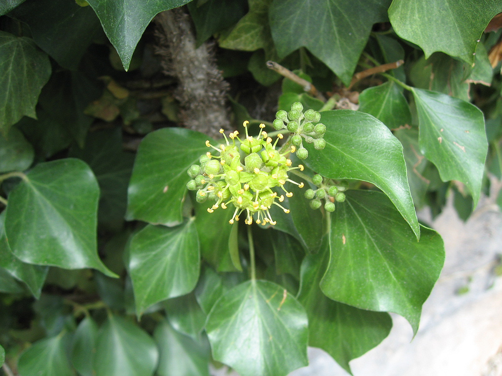 ivy inflorescence