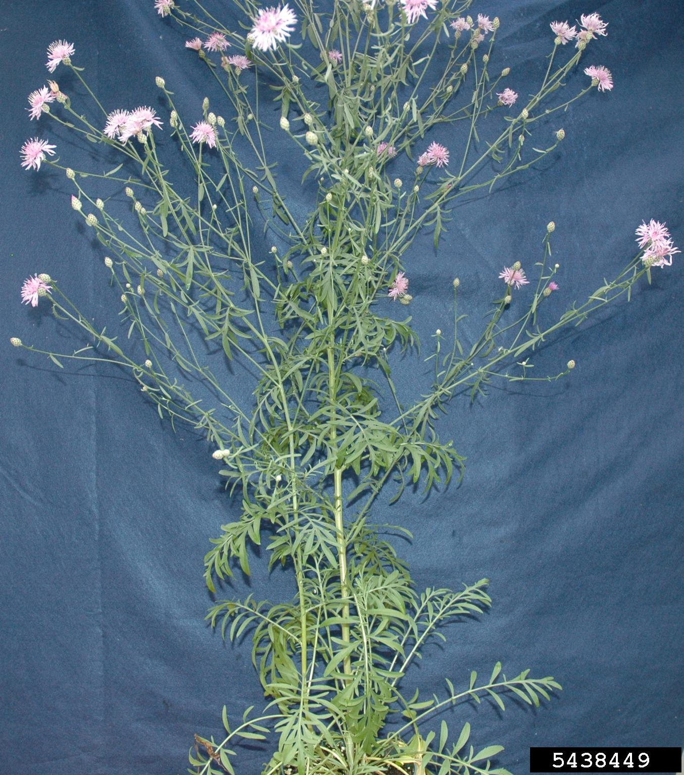 spotted knapweed whole plant
