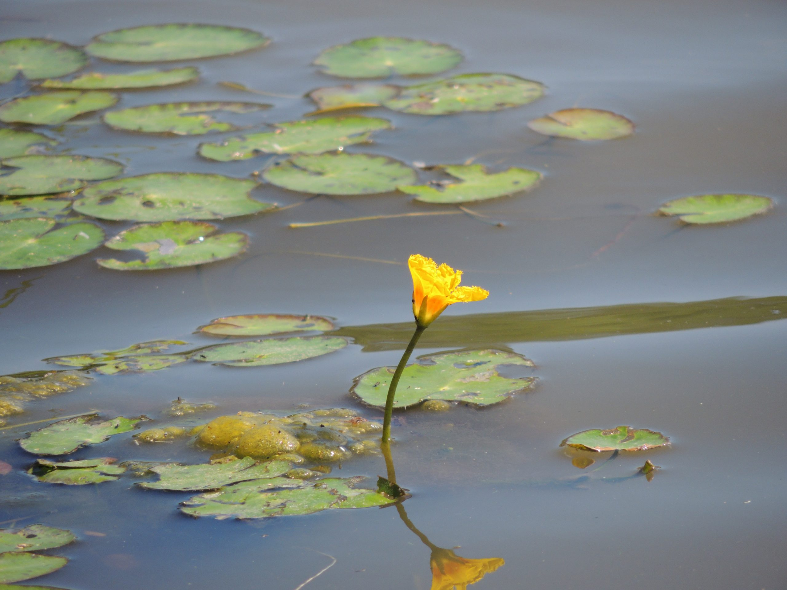 yellow floating heart leaves and flower