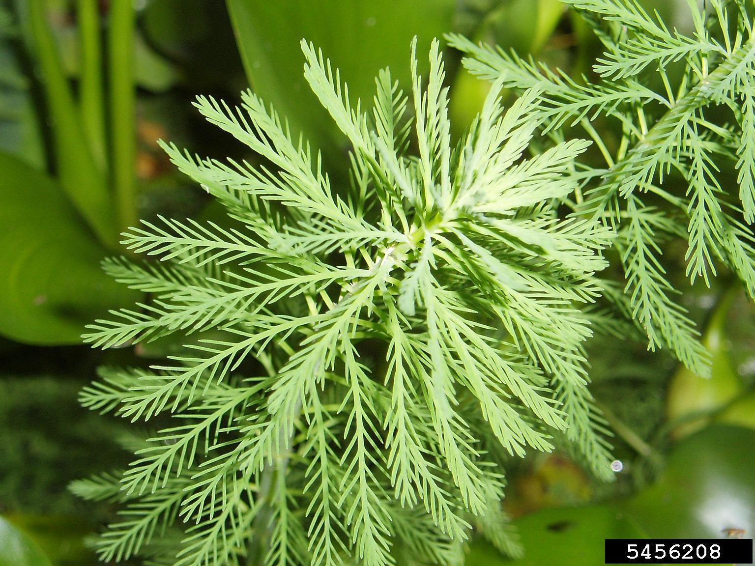 Parrot feather leaves