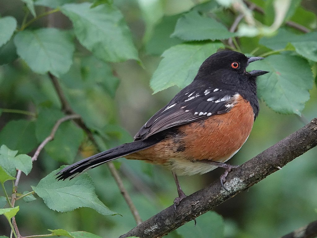 A spotted towhee on a branch in midsong Createive Commons Share-Alike 2.0 by Mike's Birds