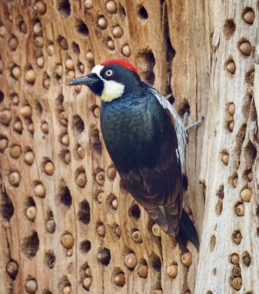 A red headed black winged woodpecker perches on the side of a tree that is full of holes that acorns are stuffed into.