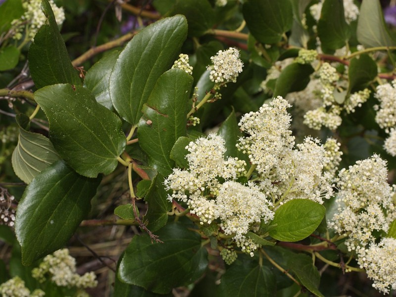 Glossy green ovate leaves and cluster of small, bring white flowers. Photo by W. Siegmund CC BY SA 3.0