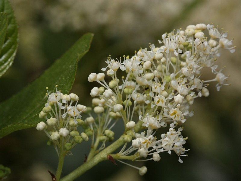 An up-close shot of a panicle of small white flowers by W. Siegmund CC BY SA 3.0