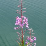 a spire of light purple fireweed flowers with water in the background. Robert Flogaus-Faust wikimedia CC BY 4.0