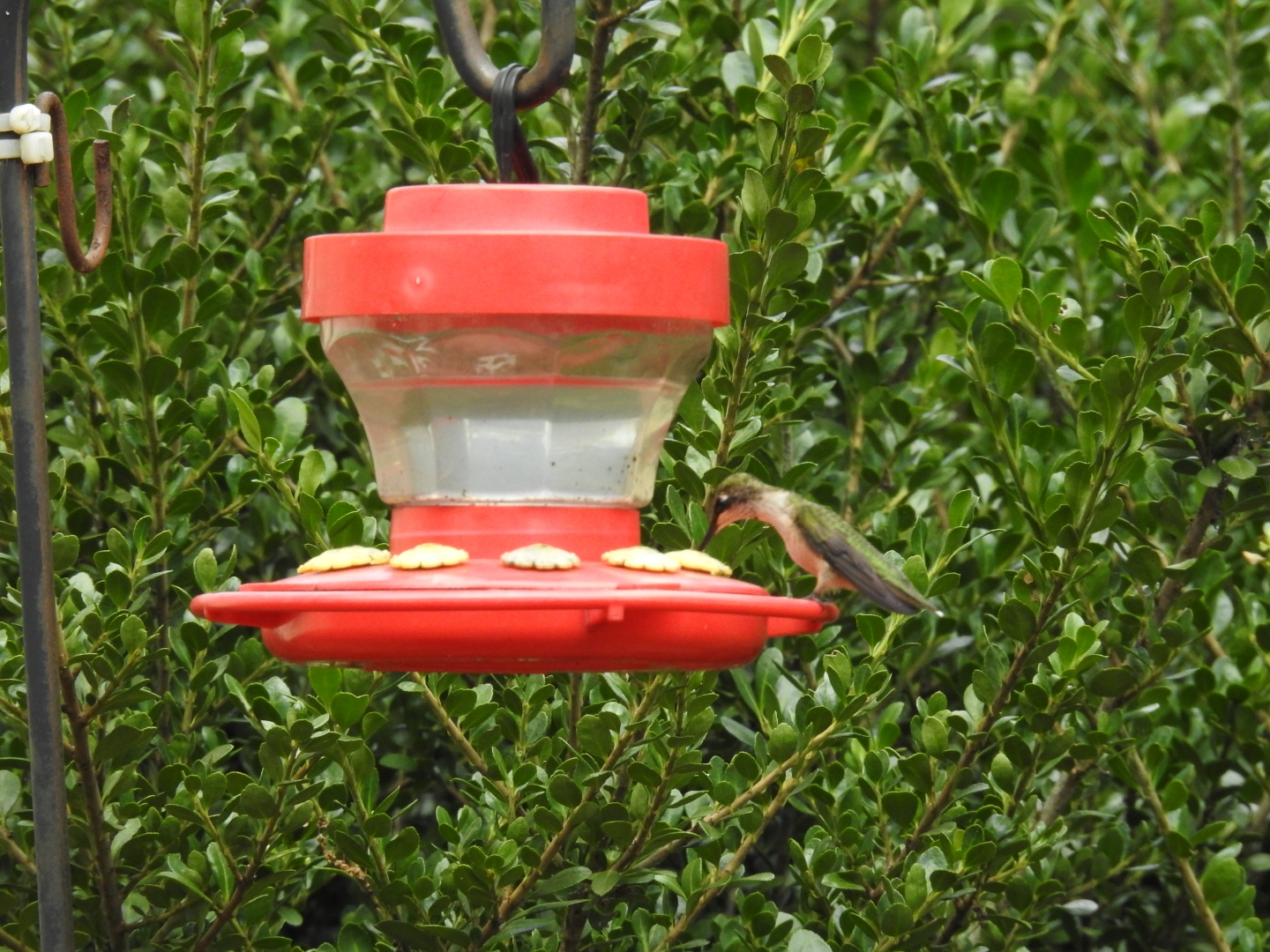 Red feeder with hummingbird