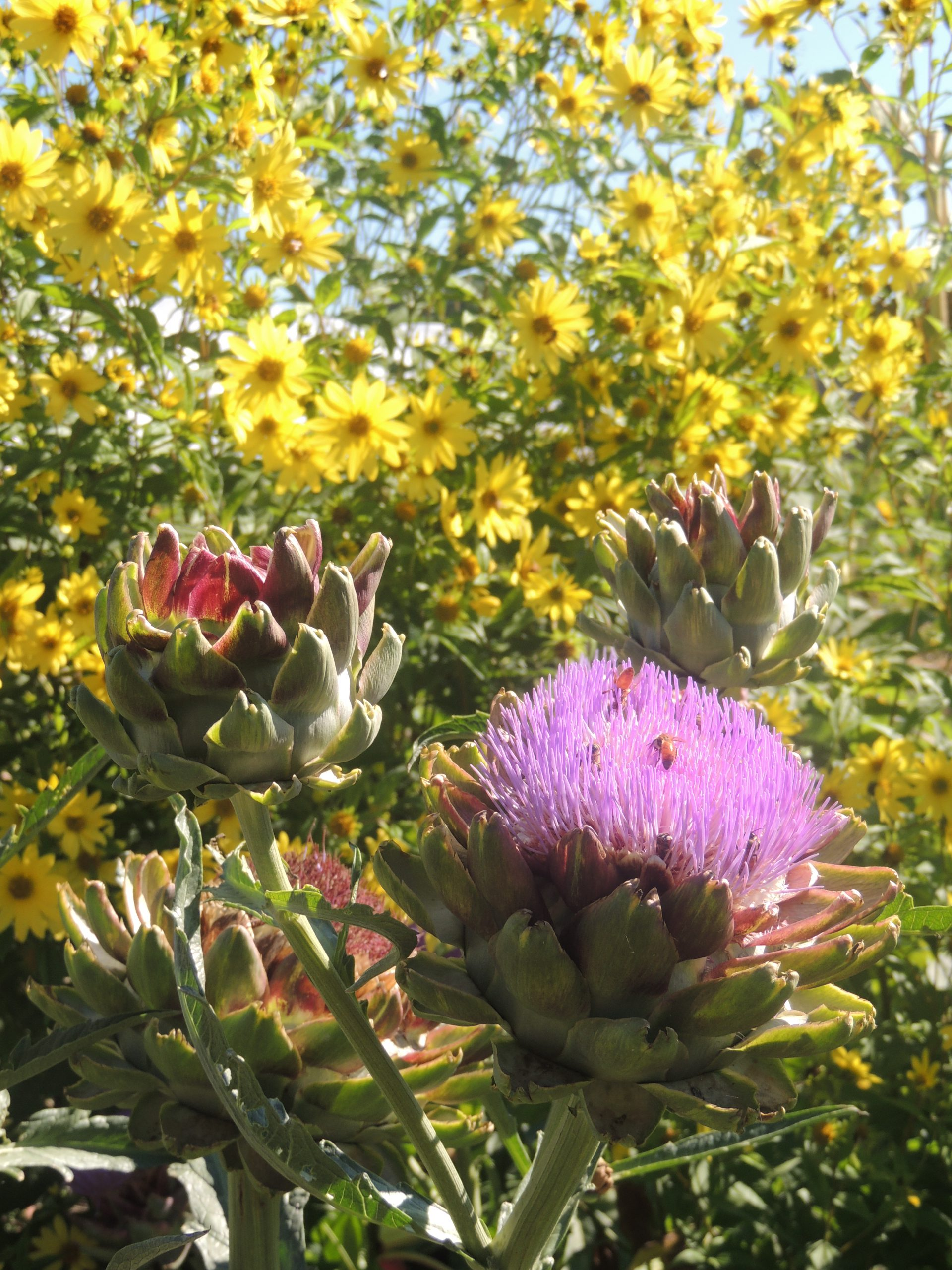 A flowering artichoke at Oak Creek Center for Urban Horticulture © H. Keirstead