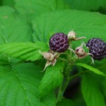 Close-up of two black raspberries and green compound toothed leaves. Photo by A. Kho, CC-BY-SA-2.0