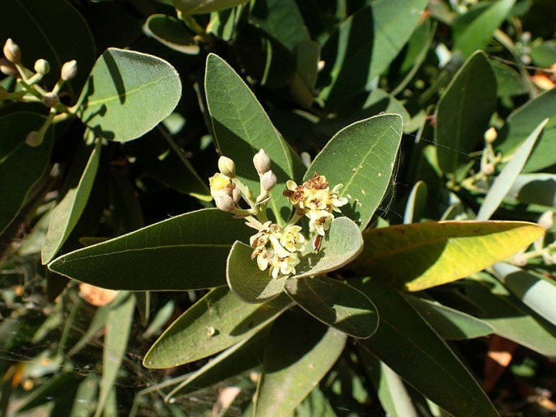 Leather green lance-shaped leaves and small white flowers. CC-BY-SA-4.0