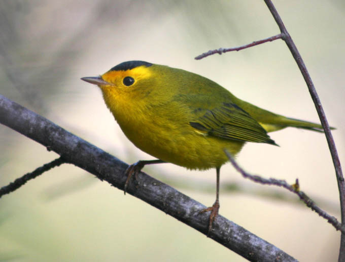 Wilson's Warbler on a branch. A small bird with a yellow eye patch and greenish-yellow wings and body and a darker green cap on top of head.