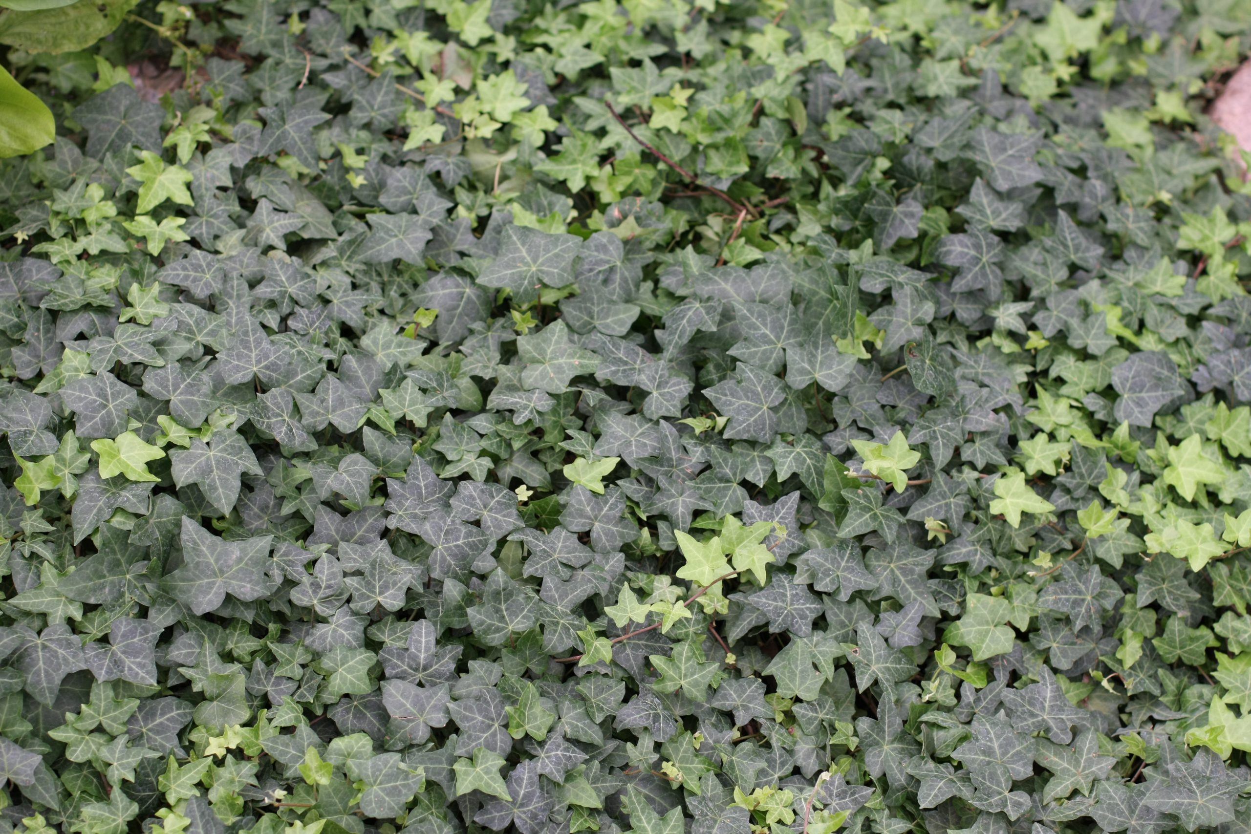 A blanket of dark and light green ivy.