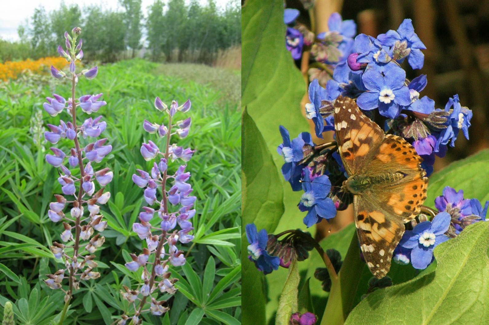 Large-leaved lupine (left) © Seven Oaks Native Nursery and Painted Lady on native Pacific Houndstongue (right) © B. Newhouse