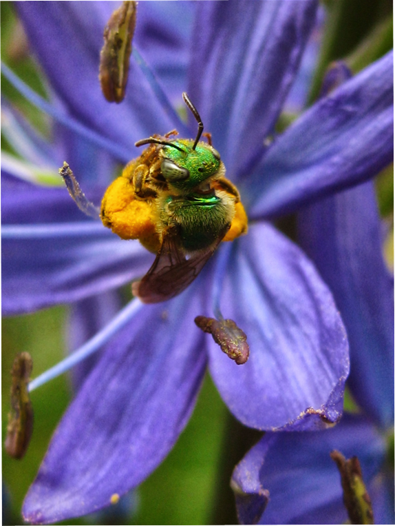 Bee pollinating a camas flower near the Willamette River. © M. Evelyn