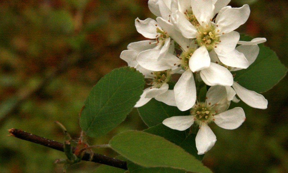 Pacific serviceberry ©http://www.nwplants.com
