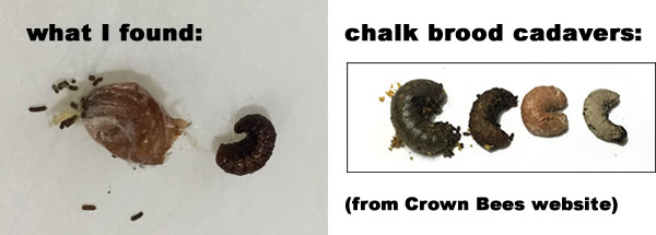 dead, dried up cocoons that look like chalk brood tainted examples.