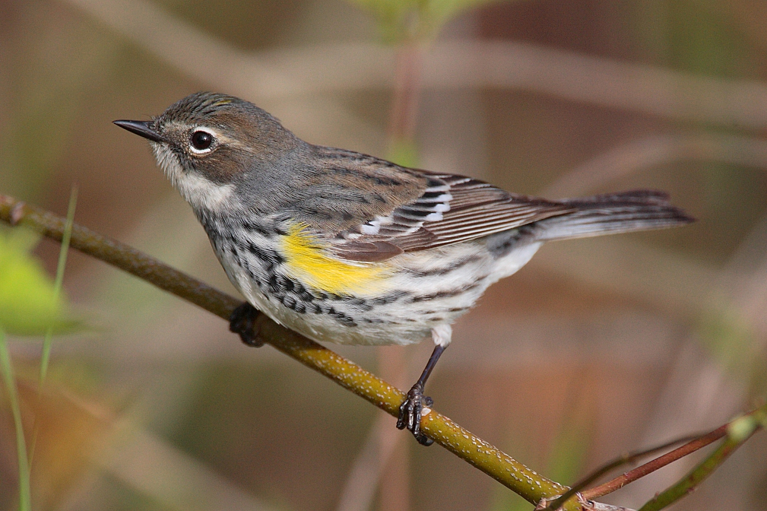 Small yellow rumped warbler bird on a branch.
