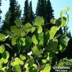 Quaking aspen branch with green heart shaped leaves by SevenOaks Native Nursery