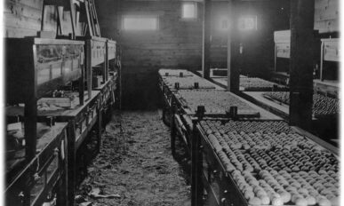 Tables lined with eggs in the Benton County Hatchery in 1922.