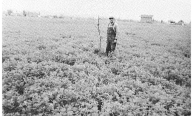 Farmer standing in a walnut orchard, double-cropped to alfalfa..