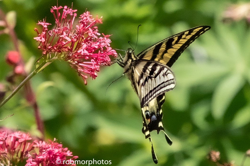 swallowtail butterfly drinking from a pink flower while in flight