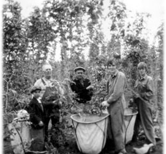 Five agricultural laborers harvesting hops from the Seavy Hop Yard in 1930.