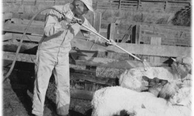 A white man in a ball cap and zip-up worksuit spraying DDT on sheep.