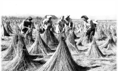 Women in a field of flax that has been tied up into conical bunches.