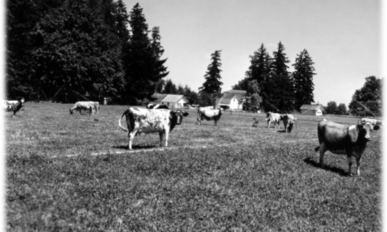 cows on a field of irrigate clover with Doug-fir trees in back