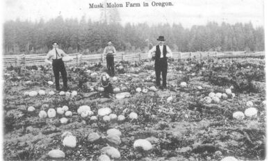 Four people in a field of musk melons in 1907.