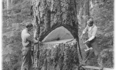 Two men harvesting a large tree in 1900.