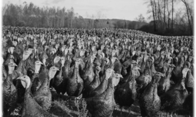 A field with thousands of turkeys.