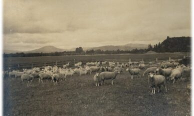 Sheep with hills in background, cloudy sky, circa 1910.