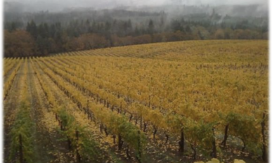 alpine-vineyards in fall with mist on hills and yellow grape leaves dropping.