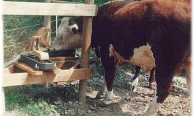 a cow using a nose pump to drink water.