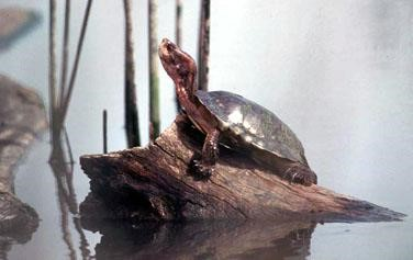 Western Pond turtle on a log with grasses and head raised high. Terry Spivey USDA