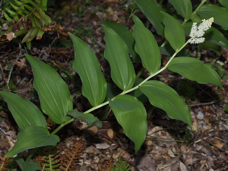 Alternate leaves with spike of white inflorescence at tip in forest understory